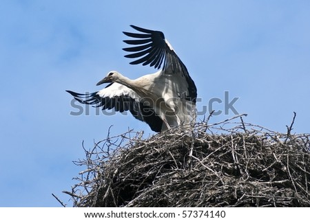 Who train the young stork flying