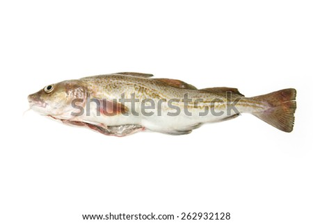 Whole Atlantic cod (Gadus morhua) fish, Isolated on a white studio background.