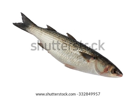 Whole fresh grey mullet fish isolated on the white background