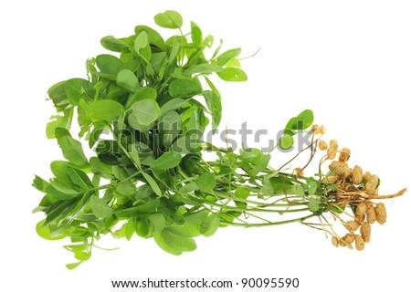 Whole Groundnut  Plant Isolated On White Background - stock photo