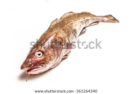 Whole large 2kg Atlantic cod (Gadus morhua) fish, Isolated on a white studio background. - stock photo