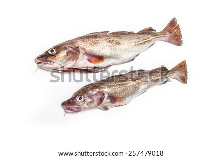 Whole raw atlantic cod (Gadus morhua) fish, Isolated on a white studio background. - stock photo
