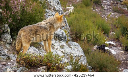 Whole wet Canis Lupus Signatus over rocks looking at the horizon, side view