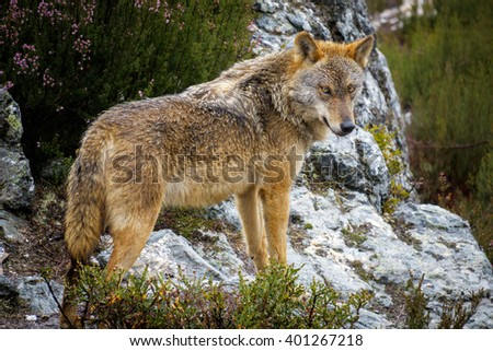 Whole wet Canis Lupus Signatus over rocks, side view - stock photo
