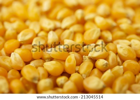 Wholesome dried corn kernels, or unpopped popcorn kernels,  with depth of field.  - stock photo