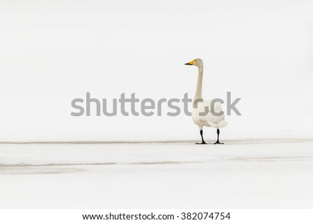 Whooper swan (Cygnus cygnus)  on thin spring ice in white landscape.