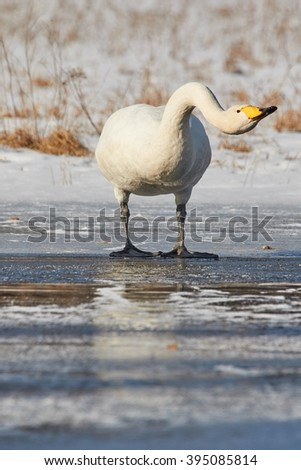 Whooper swan (Cygnus Cygnus) reaches the neck on the ice of a frozen lake in Finland in winter.