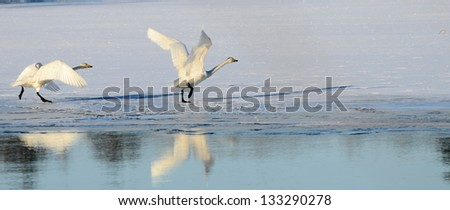 Whooper swan in flight over frozen river at sunrise - stock photo