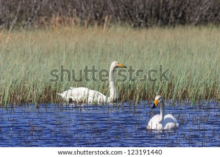 Whooper swans swimming in lake