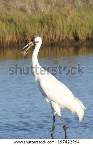 Whooping Crane with Crab - stock photo
