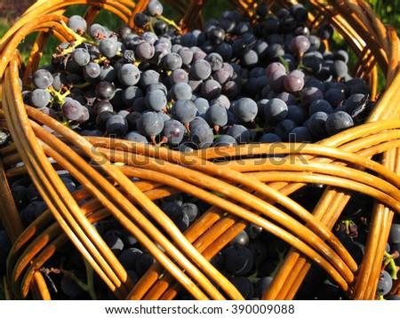 "Wicker basket full of ripe hybrid Vitis ""Izabella"" (Vitis labrusca x Vitis vinifera) grape berries on the lawn  - stock photo"