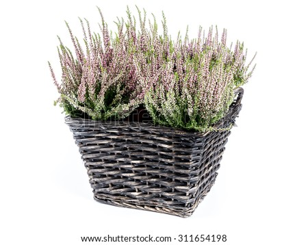 Wicker basket with bunch of heather flowers shot on white background - stock photo