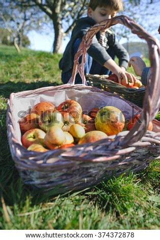 Wicker basket with fresh organic apples from harvest - stock photo