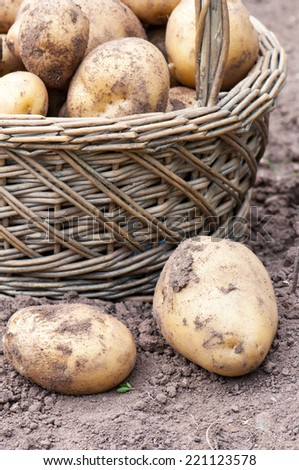 Wicker basket with organics potatoes in a garden. - stock photo