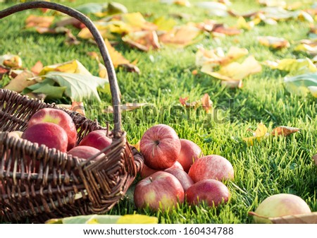 Wicker basket with red apples on a meadow with autumn leaves.