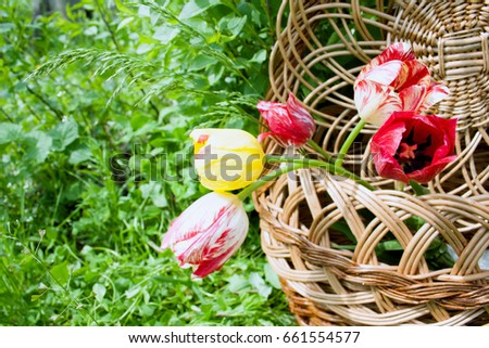 Wicker Wooden Basket With Beautiful Bright Fresh Tulip Flowers On A Green Floral Background Empty