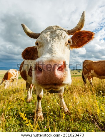 Wide angel curious cow sniffing into camera - stock photo