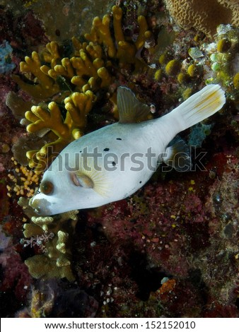 Wide-angle close-up portrait of a Blackspotted Puffer Fish - stock photo