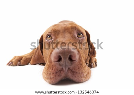 wide angle closeup of a pure breed golden dog looking upwards - stock photo