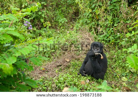 Wide angle image of baby Mountain Gorilla feeding in Natural Habitat  - stock photo