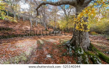 Wide angle of beech tree folder and tourist alone contemplating autumn