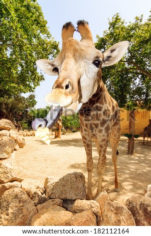Wide angle photo of a funny Giraffe showing its long tongue - stock photo