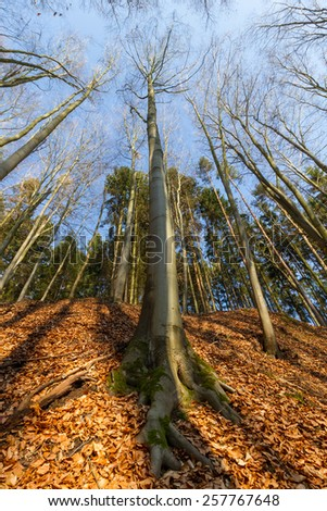 Wide angle photograph of very old beech tree from top to bottom. Main focus point at the bottom of tree - stock photo