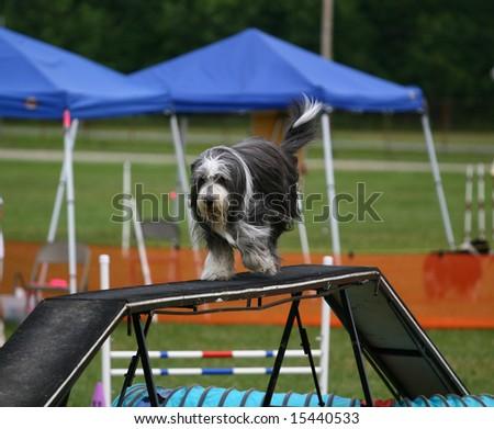 Wide angle shot of a Furry Agility Dog on a walk way - stock photo