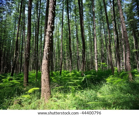 Wide-angle shot of pine forrest with fern underneath trees