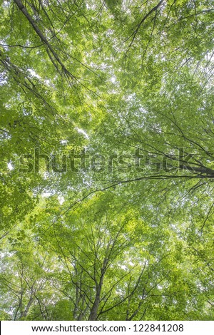 Wide angle shot of the canopy trees inside the forest in Haliburton & Image Tall Canopy Trees Sunbeams Stock Photo 115842730 - Shutterstock