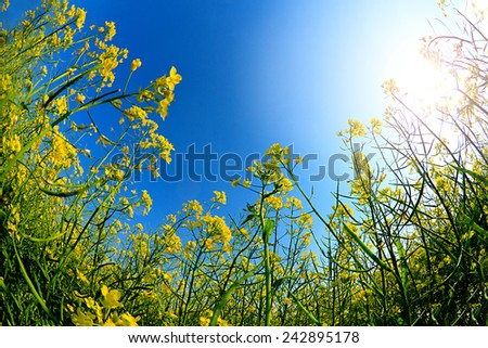 Wide angle view of a beautiful field of bright yellow canola or rapeseed in front of a village. - stock photo