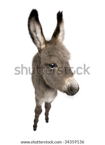 wide-angle view of a donkey foal (2 months) in front of a white background - stock photo