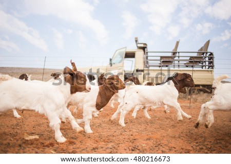Wide angle view of goat kids running in a pen on a farm in South Africa