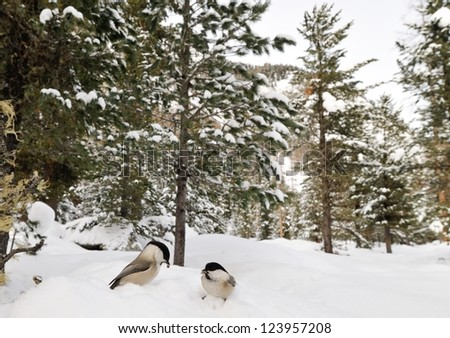 Wide angle view of two willow tits (Poecile montanus or Parus Montanus) birds in a snowy forest - stock photo