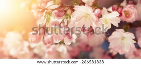 Wide format closeup of Cherry blossoms with blurred background and warm sunshine. Filtered colors in retro-style emphasize the softness of the flowers - stock photo