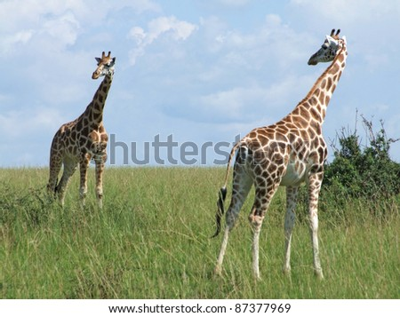 wide grassland including two Rothschild Giraffes in Uganda (Africa) - stock photo