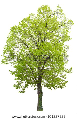 wide leaf tree isolated on white