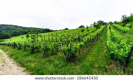 Wide panoramic view to Alsace vineyards, France. Nature and agriculture.