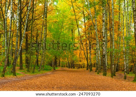 wide path in autumn park with birches - stock photo