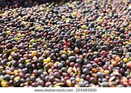 Wide shot of a large container of freshly harvested olives in Paso Robles, California - stock photo