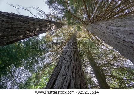 Wide view of giant tree Sequoias  - stock photo