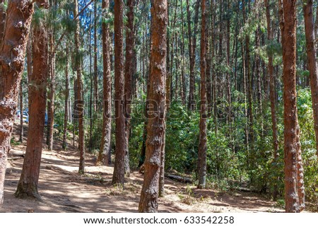 Wide view of pine trees in a dark forest, Ooty, India, 19 Aug 2016