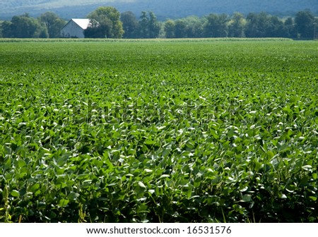Wide view of soybean field with barn in distant background.