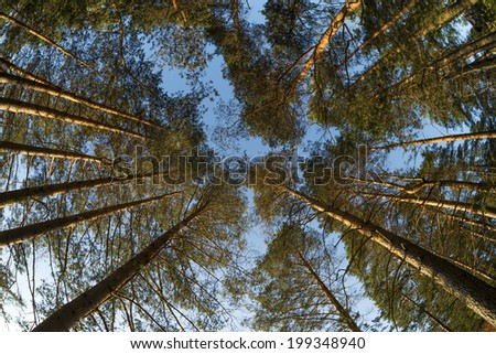 Wide view up to pine trees tops - stock photo
