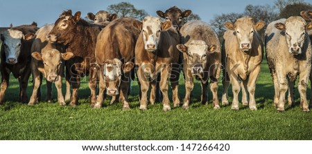 Widescreen style panoramic shot of a herd of cows standing in a row. - stock photo