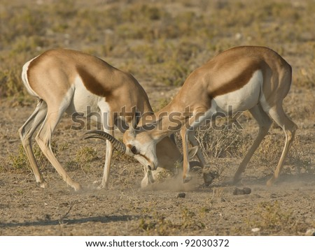 Widespread in semi-arid regions of Southern Africa; both sexes horned; dark-brown band separating upper brownish back and flanks from white under parts; white head with brown stripe through eye. - stock photo