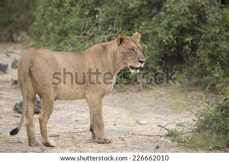 Wild adult lioness mother