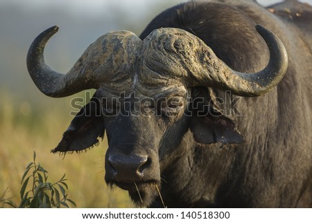 Wild African buffalo bull, South Africa - stock photo