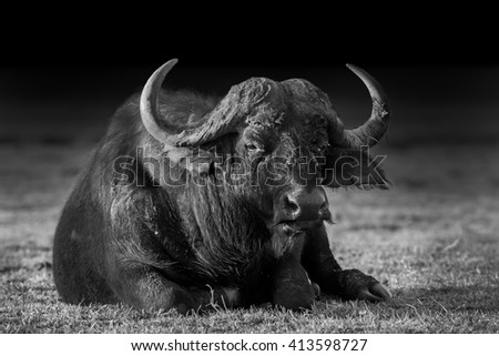 Wild African Buffalo sitting down in black and white