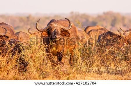 Wild African Cape Buffalo in the bush - stock photo